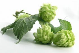 Mini Plant Beer Hops